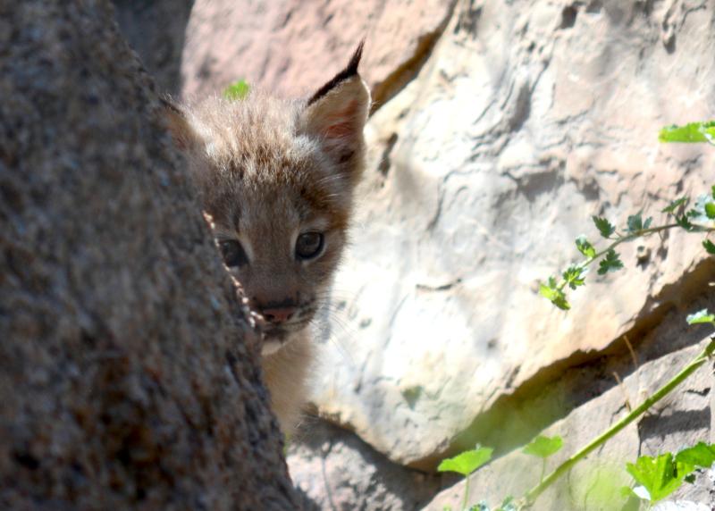 5_Canada lynx in exhibit3