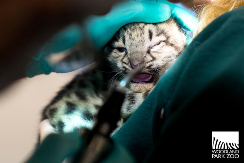 6_2017_07_20 snow leopard kitten-4wm