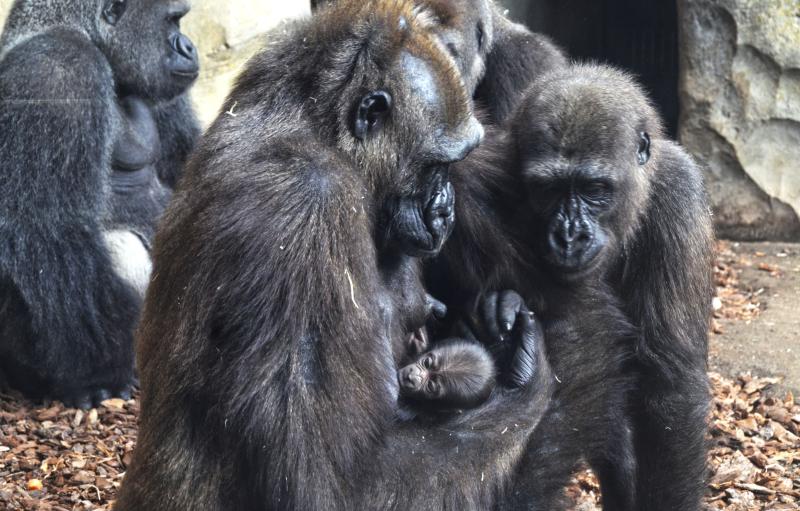 2_Julio 2017 - bebé gorila recién nacido en BIOPARC Valencia (2)