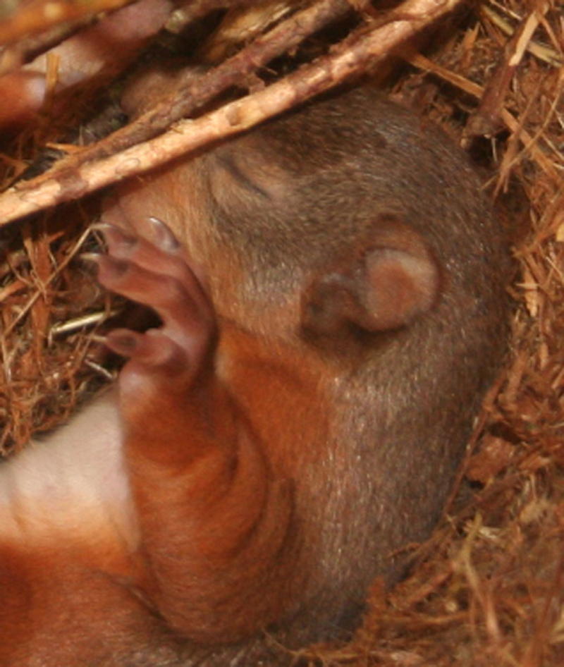 2_(6) The kittens stay in the drey (nest) for the first few months and are starting to explore their surroundings.