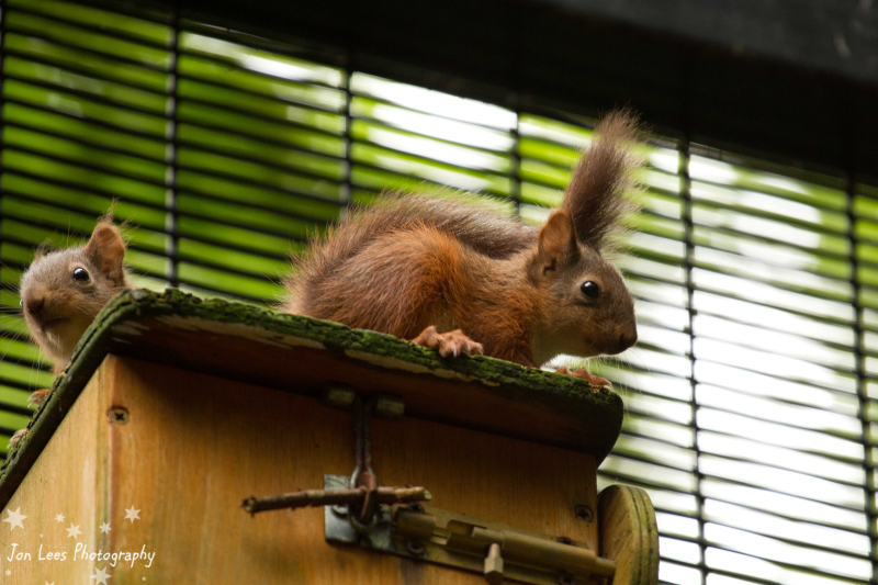 5_(3)  Photo credit - Jon Lees    Belfast Zoo has formed the first captive breeding programme for red squirrels in Northern Ireland.