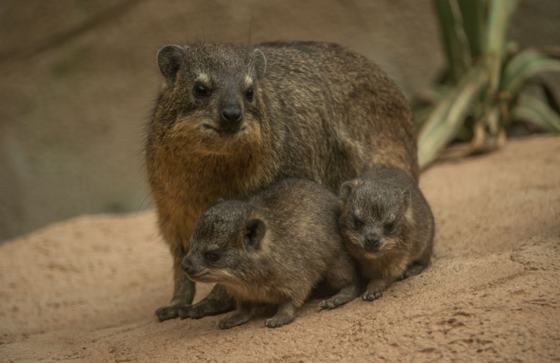 Rock hyrax triplets born at Chester Zoo (19)