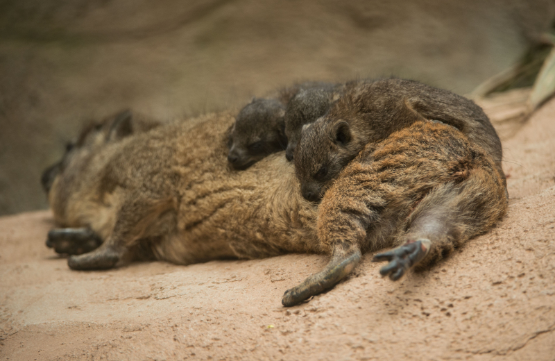 Rock hyrax triplets born at Chester Zoo (4)