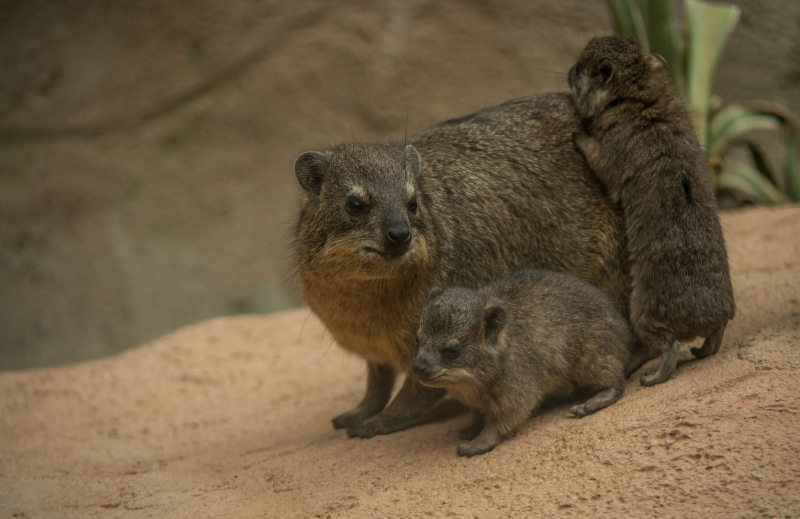 Rock hyrax triplets born at Chester Zoo (18)