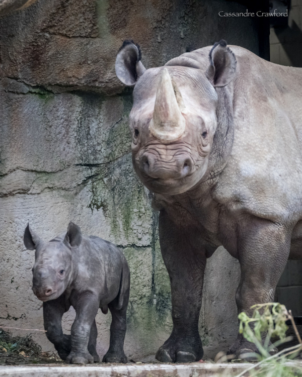 Black Rhino Calf Ready For The Great Outdoors Zooborns