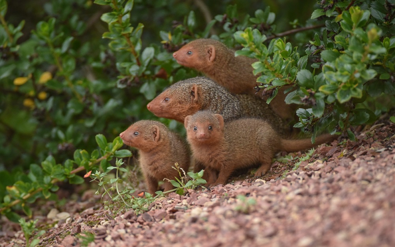 1_Fab five! Dwarf mongoose pups emerge from their den at Chester Zoo (1)