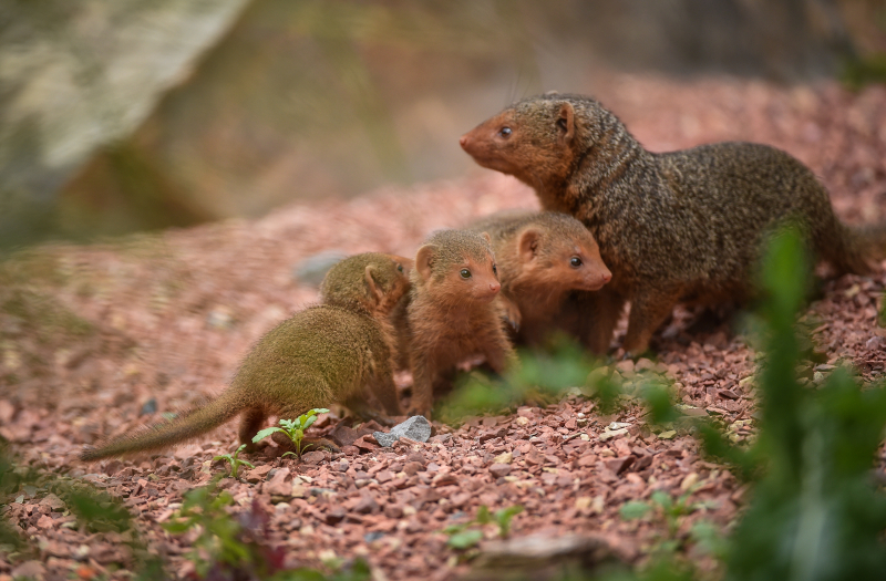 3_Fab five! Dwarf mongoose pups emerge from their den at Chester Zoo (26)