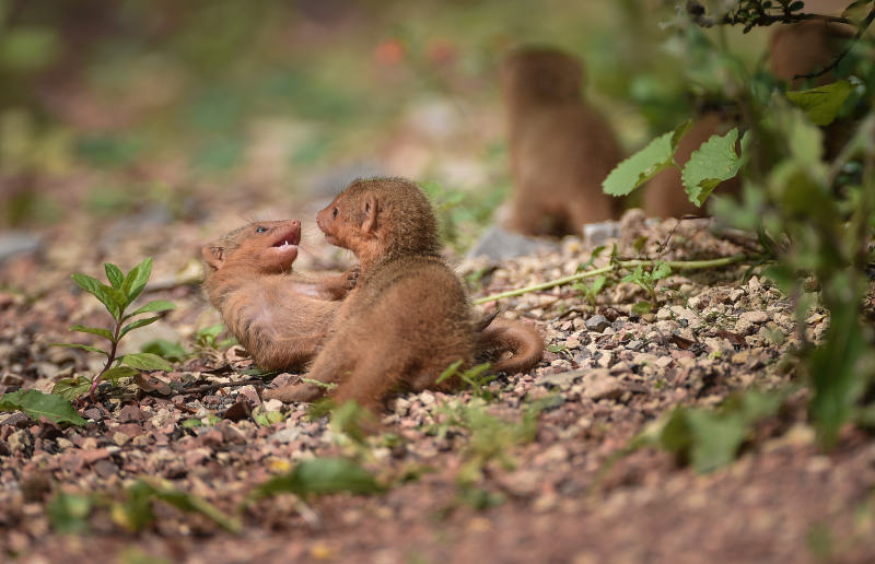 7_Fab five! Dwarf mongoose pups emerge from their den at Chester Zoo (12)