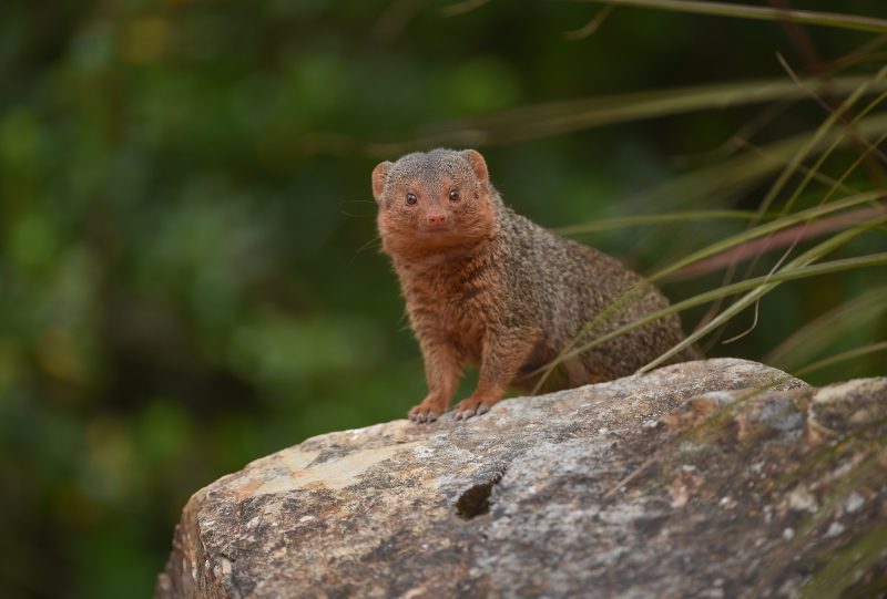 9_Fab five! Dwarf mongoose pups emerge from their den at Chester Zoo (40)