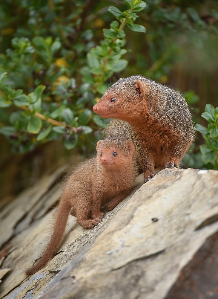 10_Fab five! Dwarf mongoose pups emerge from their den at Chester Zoo (48)