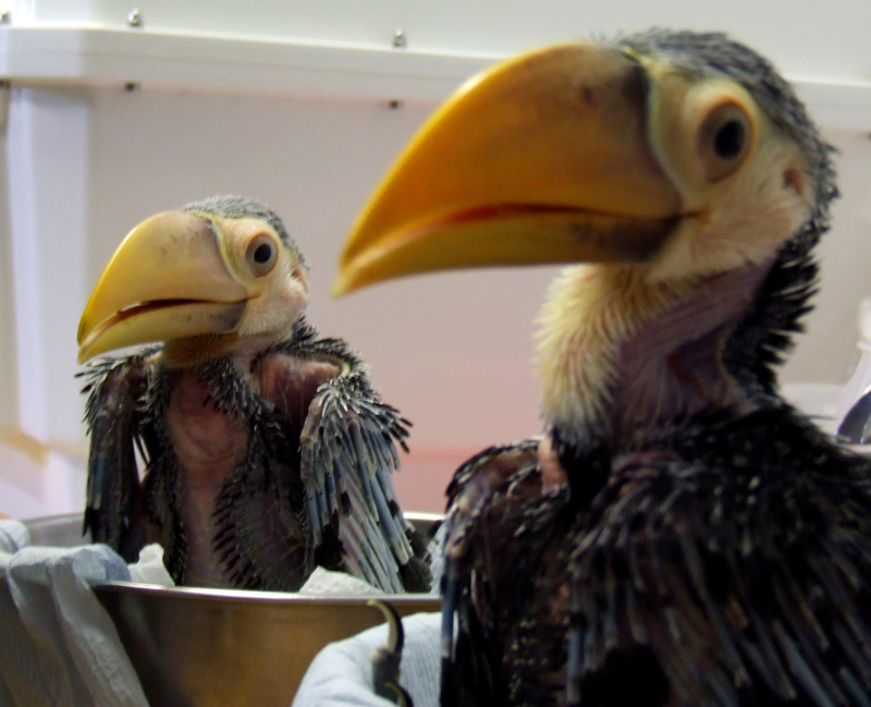 1_2017 08 PZ toco toucan chicks 5