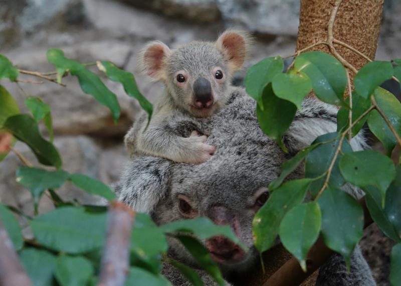4_17_8_21_Koala_Joey_JP_3
