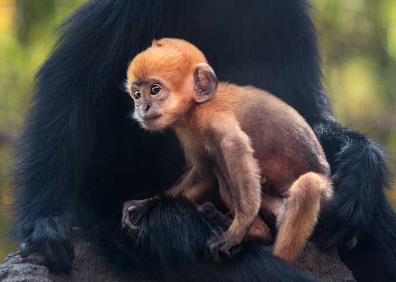 Francois Langur Baby Photo 2 of 5 by Jamie Pham