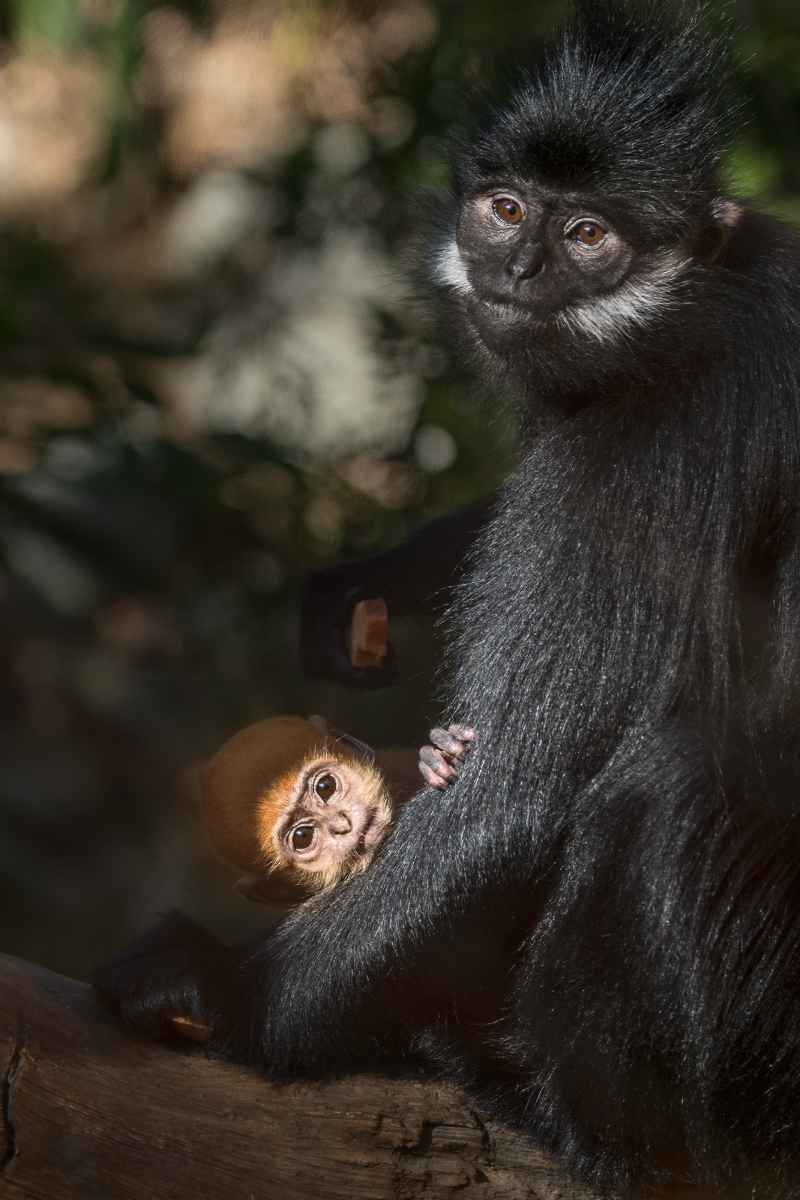 Francois Langur Mom and Baby Photo 5 of 5 by Jamie Pham