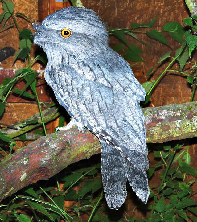Tawny Frogmouth - ZooBorns