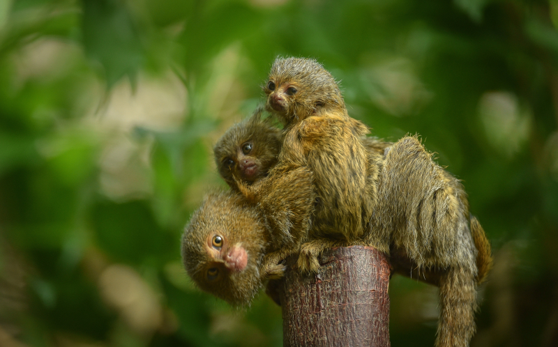 1_World's smallest monkey gives birth to tiny twins at Chester Zoo (53)