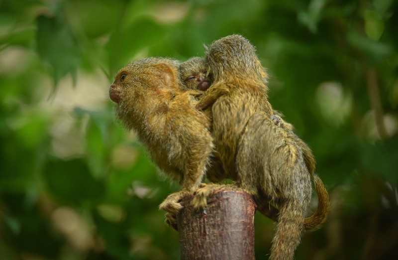 3_World's smallest monkey gives birth to tiny twins at Chester Zoo (50)