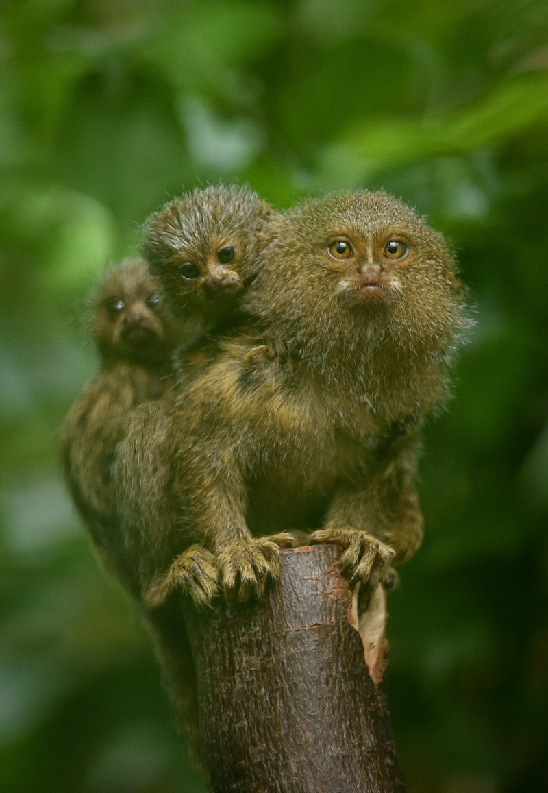 4_World's smallest monkey gives birth to tiny twins at Chester Zoo (43)