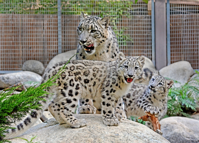 2_Snow Leopard Mom & Two Cubs 9-11-17  Photo By Tad Motoyama