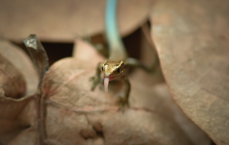 12_World first as rare Bermudian skinks hatch at Chester Zoo as part of bid to save species (15)