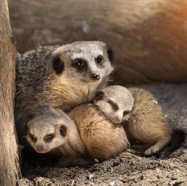 Meerkat Triplets Emerge At Australia S National Zoo Zooborns