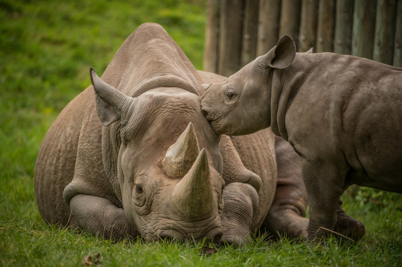 3_A two-month-old baby rhino  named Ike  tries to get the attention of his mum Zuri in the most adorable way at Chester Zoo (32)