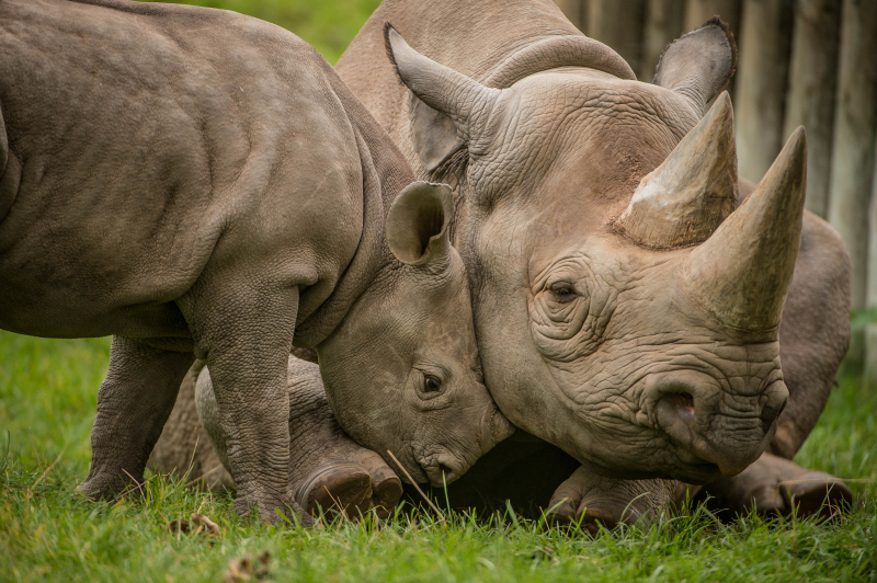 4_A two-month-old baby rhino  named Ike  tries to get the attention of his mum Zuri in the most adorable way at Chester Zoo (31)