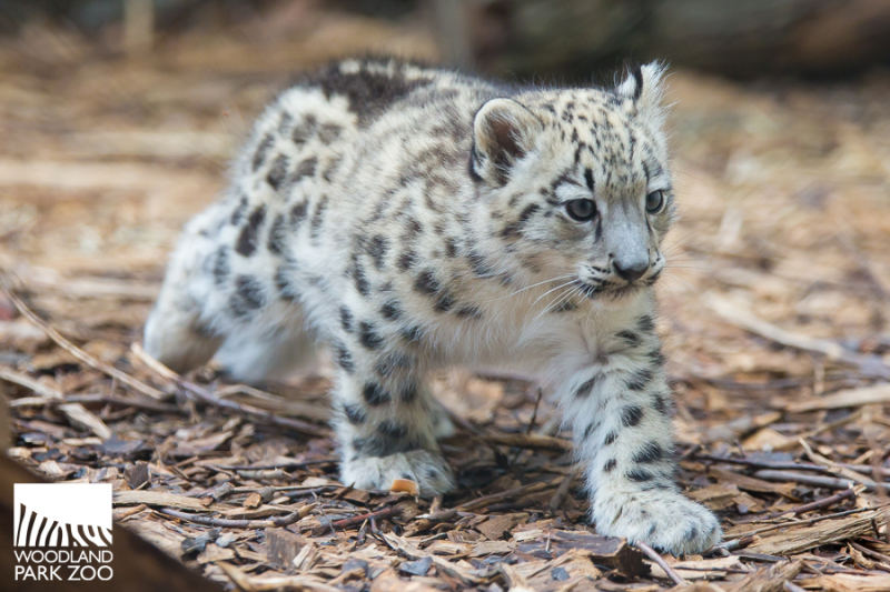 2017_09_19 Aibek snow leopard 900-5wm