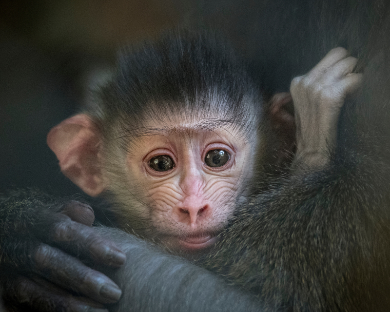 LA Zoo Female Mandrill Newborn Photo by Jamie Pham