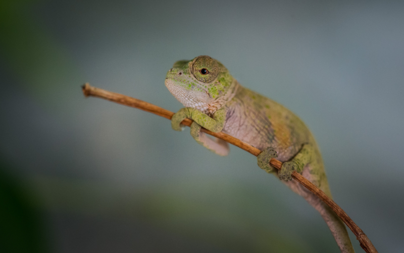 Baby chameleons hatch in Chester Zoo first (1)