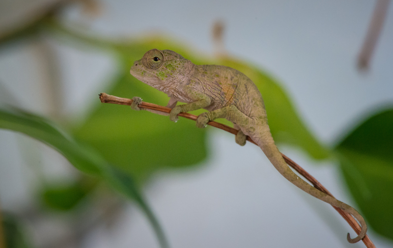 Baby chameleons hatch in Chester Zoo first (5)