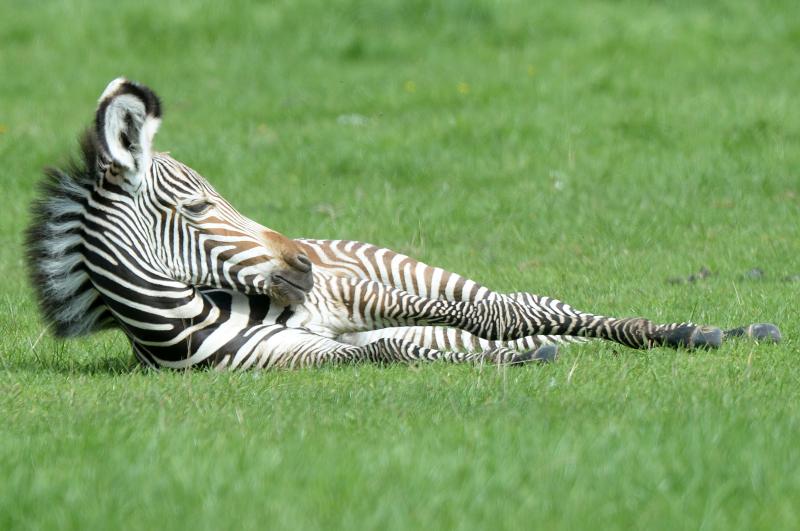 1_Grevys Zebra foal Sept17 cZSL 2 (5)