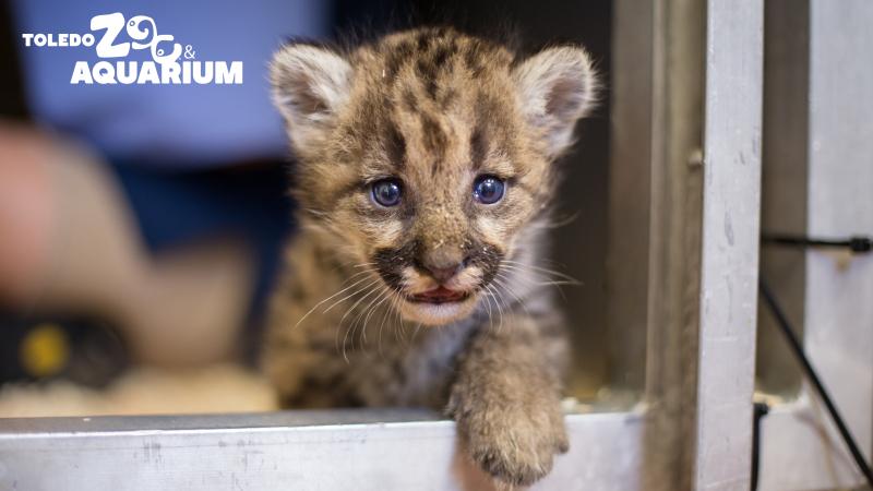 8_Puma_CougarCub-1