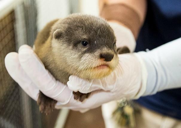 KCZoo Baby Otter 2