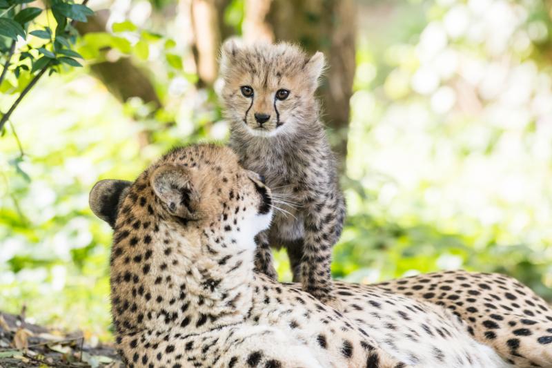 Geparden_mit_jungtieren_ZO55446