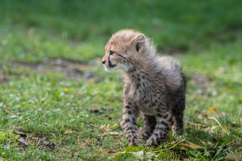 Geparden_mit_jungtieren_ZO59154