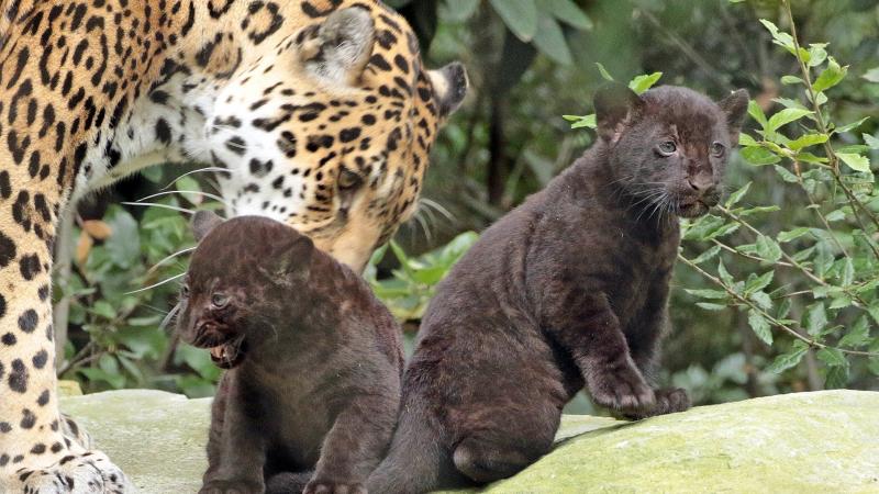 3_jaguarwelpen_buiten_2017_nieuwsbericht_2_1920x1080.jpg__1920x1080_q85_crop_subsampling-2_upscale