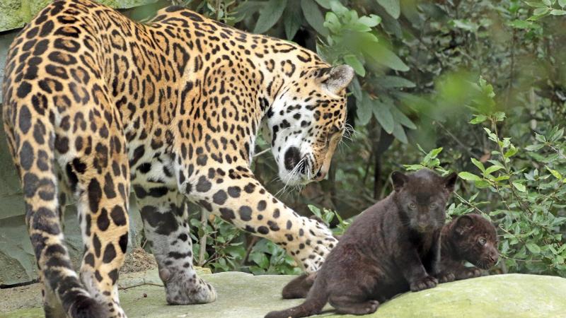 5_jaguarwelpen_buiten_nieuwsbericht_1920x1080_8.jpg__1920x1080_q85_crop_subsampling-2_upscale