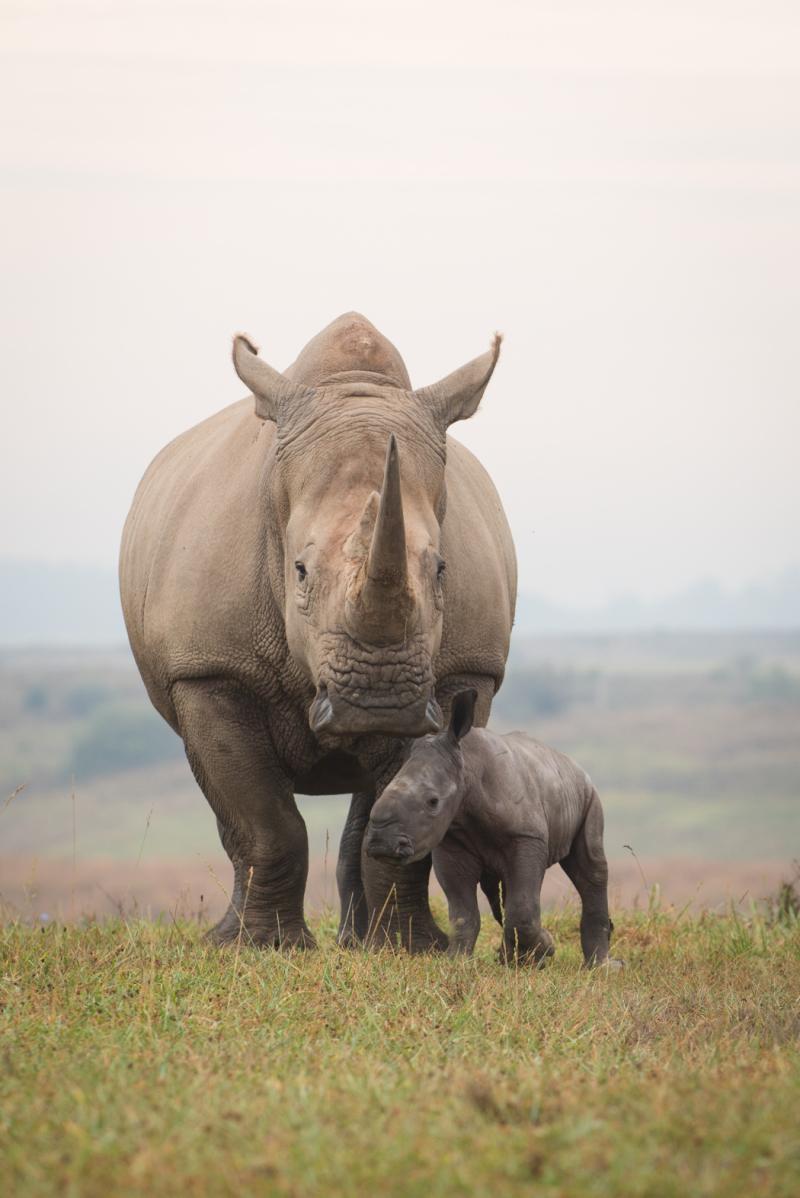 5_Rhino Calf 2705 - Grahm S. Jones  Columbus Zoo and Aquarium