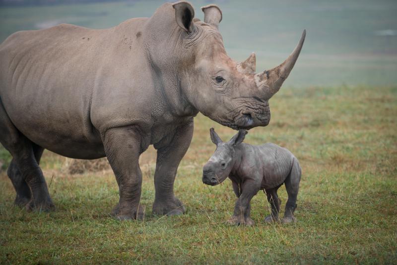 6_Rhino Calf 2552 - Grahm S. Jones  Columbus Zoo and Aquarium