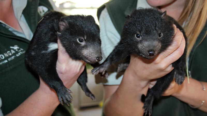 1 - Tasmanian Devil Joeys