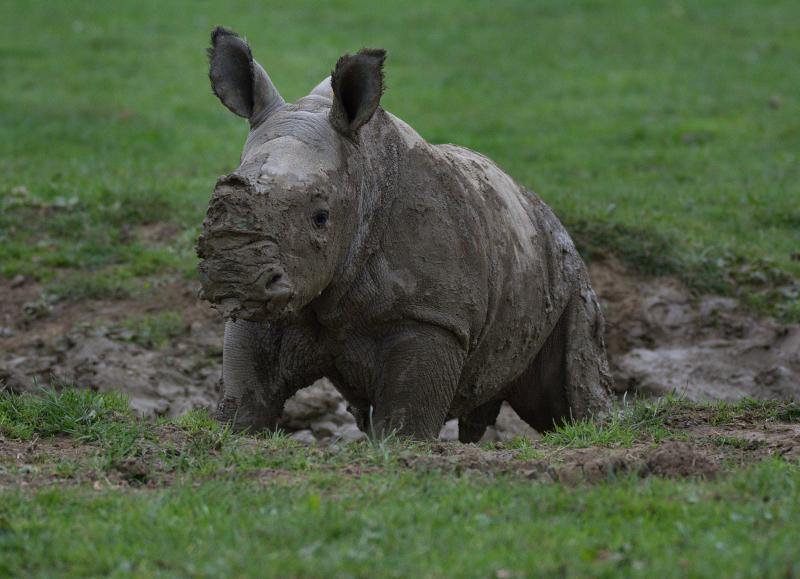 9_Rhino baby Alan 1st mudbath caught on camera (photo credit Jackie Thomas) (3)