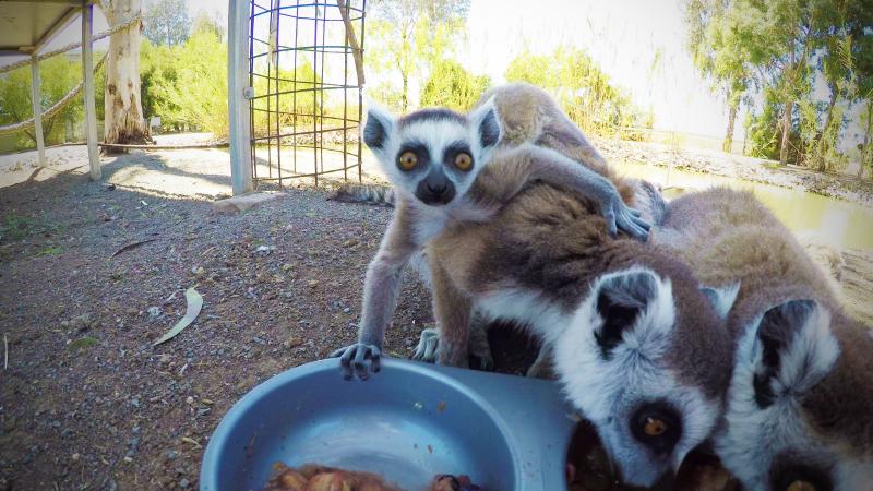 2_Ring-tailed Lemur Altina WP DP 31