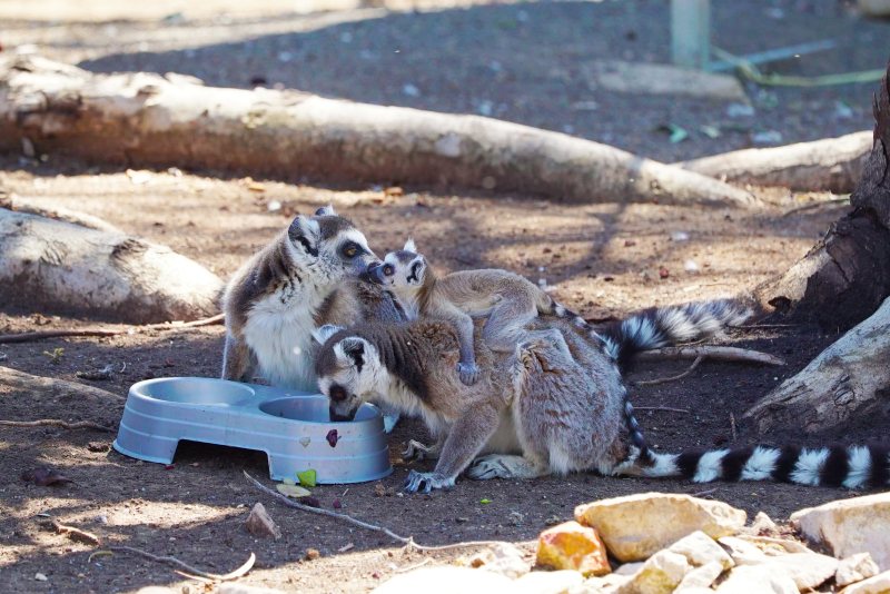 3_Ring-tailed Lemur Altina WP DP 1