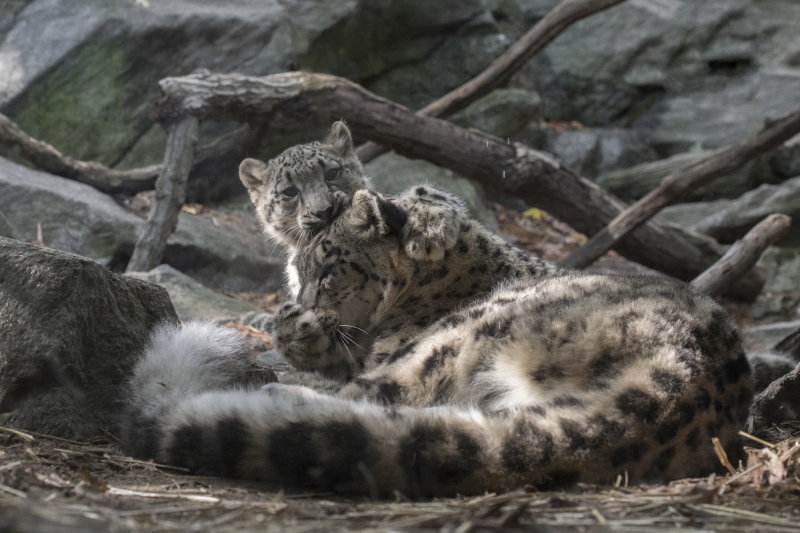 _Julie Larsen Maher_7903_Snow Leopard and Cub_HIM_BZ_10 12 17