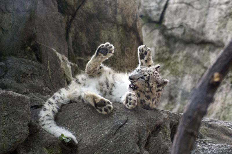 Julie Larsen Maher_8053_Snow Leopard Cub_HIM_BZ_09 07 17