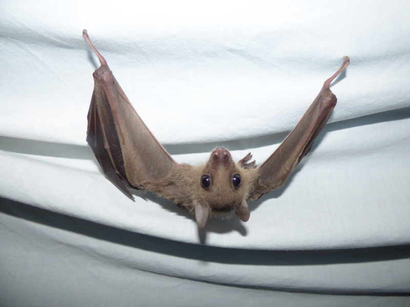 8_Bat baby flying lessons in Natalie's spare room  (1)