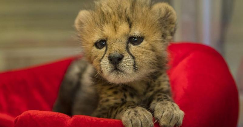 Cheetah_003_Med-860x450