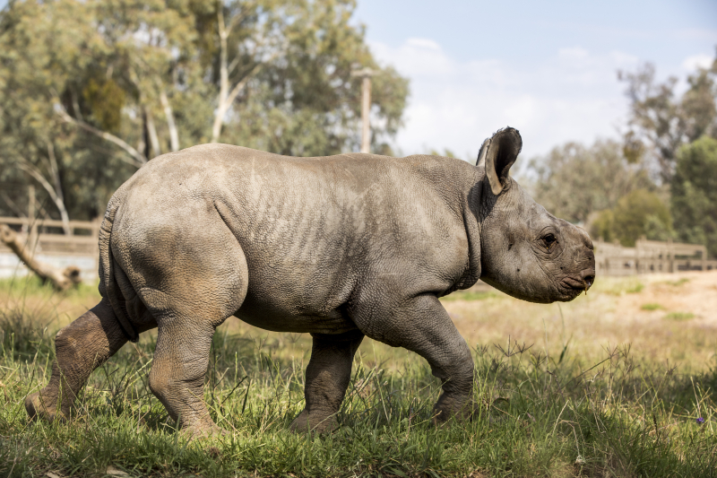 6 - Black Rhino calf