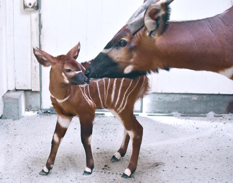 Virginia Zoo Bongo BabyA
